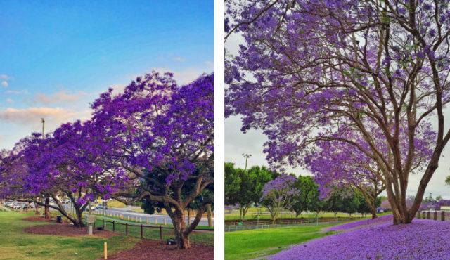 澳洲遊學 Brisbane 藍花楹