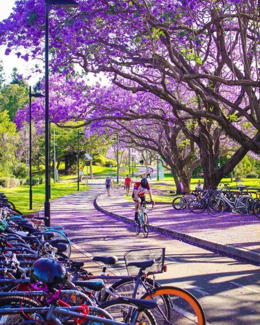紫色的浪漫 藍花楹 - Brisbane Top 10